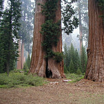 Three redwoods
